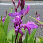 鮫洲大山線 大谷口 歩道の紫蘭