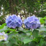 飛鳥の小径 あじさい 淡い青紫