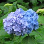 飛鳥の小径 紫陽花 アジサイ 二つの異なる色